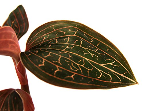 Anoectochilus chapaensis Jewel Orchid by Sprig & Stone