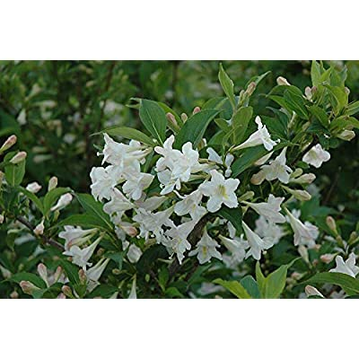 White Weigela (Weigela Florida White) : Garden & Outdoor