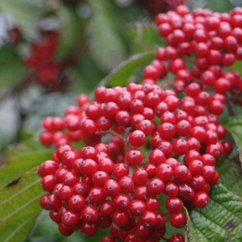 Viburnum Cardinal Candy > Viburnum dilatatum 'Henneke' >Landscape Ready 3 Gallon ()