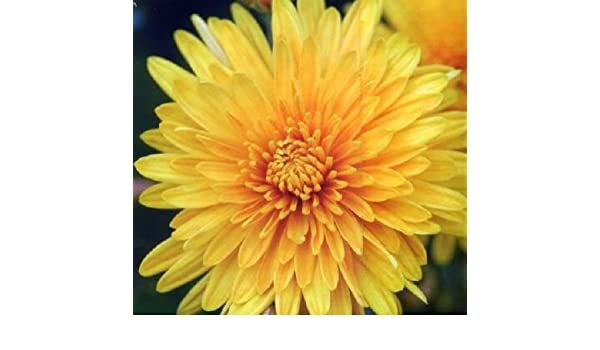 500 YELLOW CHRYSANTHEMUM Morifolium Flower Seeds *Comb S//H /& Free Gift