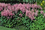 (25 Plants Bare-Root) Astilbe x arendsii 'Rheinland' False Spirea Foliage is Rich Green and Blooms are Pink on Upright Plumes Early Summer.