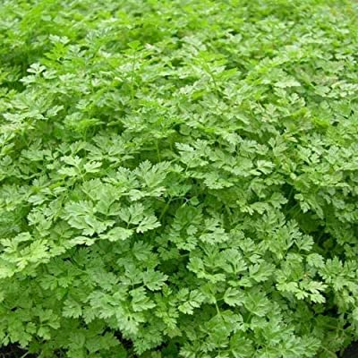 Toyensnow - Chervil, French Parsley, herb Spice (105 Seeds) : Garden & Outdoor