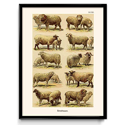 Sheep Breeds Vintage Print 1 - Sheep Poster - Sheep Art - Sheep Picture - Sheep Illustration - Kitchen Decor - Kitchen Art - Home - VP1046-8 x 10 - Sheep Poster Breeds