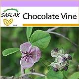 SAFLAX - Chocolate Vine - 10 Seeds - Akebia quinata