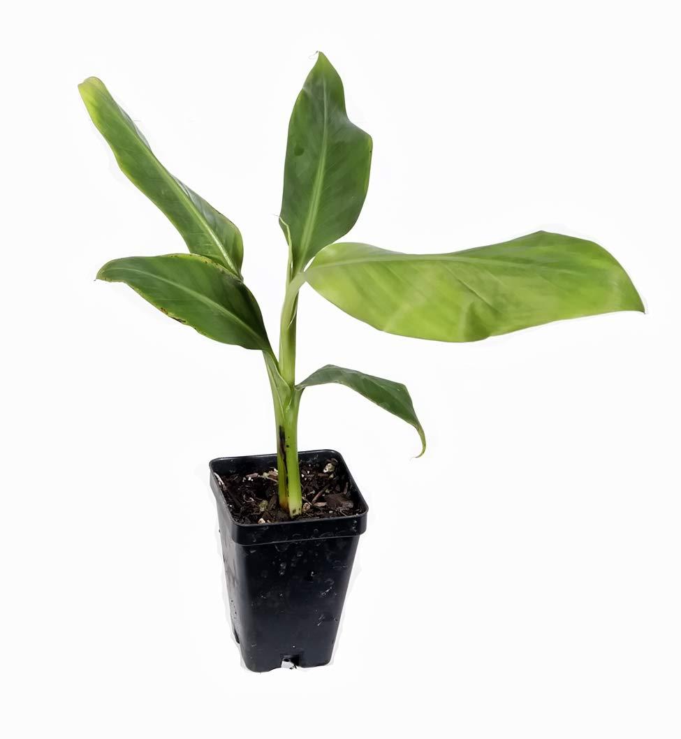 Gros Michel Banana Plant - RARE Variety