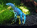 1 Live B-Grade Electric Blue Crayfish/Freshwater Lobster (2+ Inch Young Adult) by Aquatic Arts