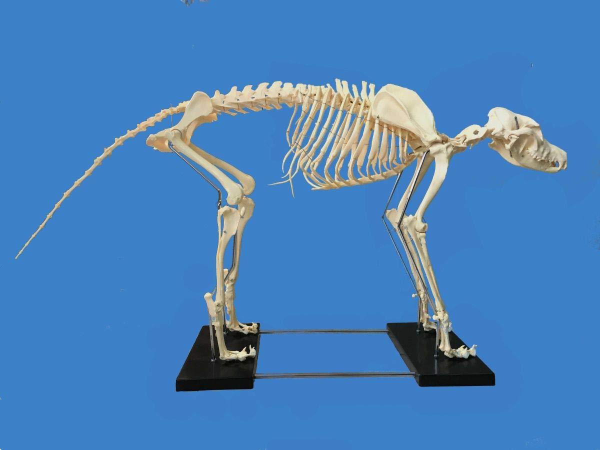 Canine (Dog) Model, Life Size