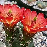 ECHINOCEREUS TRIGLOCHIDIATUS CACTUS CACTI SUCCULENT REAL LIVE PLANT