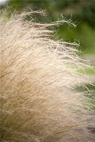 Federgras Stipa Ponytails Ziergras im Topf gewachsen im 0,5 L Topf