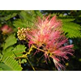 EXOTIC TREE Albizia julibrissin SILK TREE decorative summer flowering tree with pink puff fragrant flowers