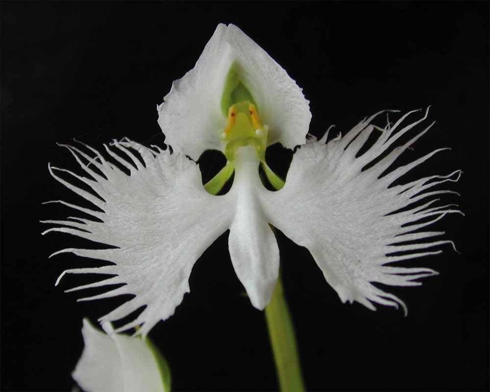 Amazon 20 white japanese habenaria radiata egret orchid seeds amazon 20 white japanese habenaria radiata egret orchid seeds garden outdoor mightylinksfo