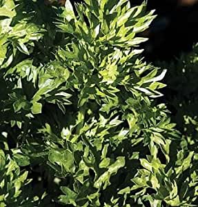 Par-Cel 50 Seeds-A new hybrid of Parsley & Celery -Herb