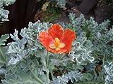 """Glaucium Flavum Var Aurantiacum """" Horned Poppy"""" x Fresh Seed"""