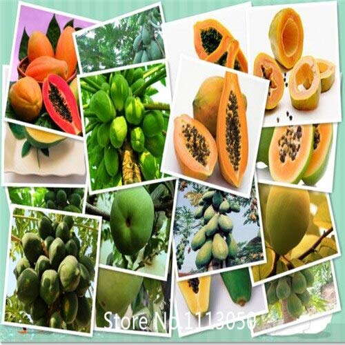 (Clear : Garden .Aging Papaya Fruit Seeds, Flowering Quince 10Particles / Pack for Christmas)