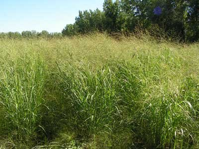 "Seeds and Things Switchgrass ""Forestburg""panicum Virgatum Native. 1,000+ Seeds an Upright Bunch-type Grass That Spreads By Short Rhizomes and Grows From 4 Ft. To 6 Ft. Tall. Blooms From July to September. Drought Tolerant. Very Hardy."