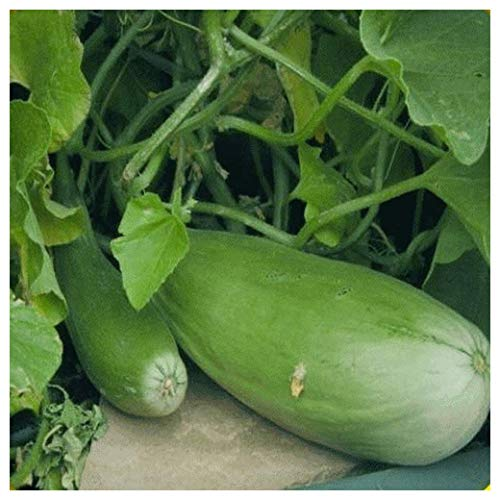 Everwilde Farms - 1/4 Lb Banana Melon Seeds - Gold Vault (Banana Melon Seeds)