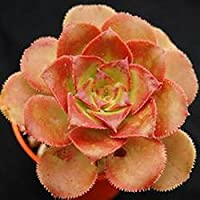 UEYR 10pcs / Bolsa Aeonium Davidbramwellii semilla suculento de semilla de una semilla Rose semilla de la semilla de…