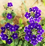 2015 New Top quality Popular 1 Pack 20 Seeds Semi-Trailing Verbena Purple Hanging Potted flower seeds Verbena hybrida