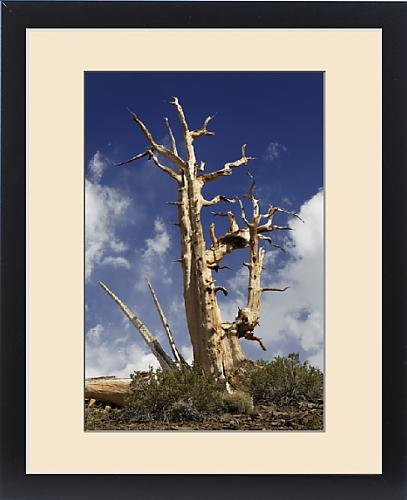Framed Print of USA, California, White Mountains. Stark view of bristlecone pine tree. Credit as (Photograph California Framed)