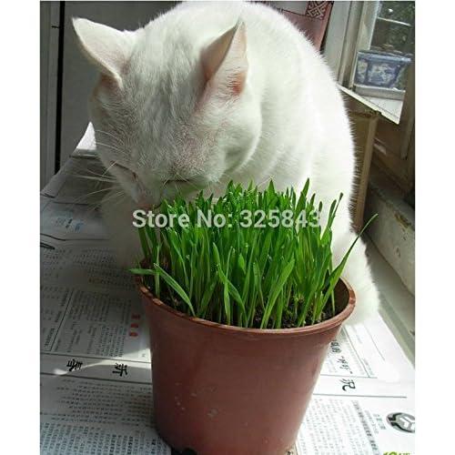 Herb Seeds 5000 Seeds Cat Grass