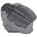 American Educational Elrathia King Trilobite Fossil (Pack of 10)