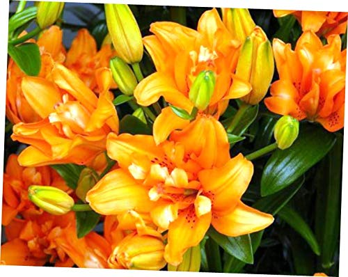 WAZZ Live Plant Asiatic Lily (in Blooming) - RK255 (Tiny -