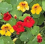 100 grams Garden Nasturtium Tropaeolum Canary Creeper Canarybird Mashua Seeds