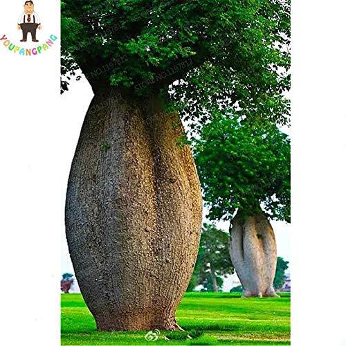 green00% Genuine 10 pcs Baobab Bonsai Rare Tropical Exotic Plant