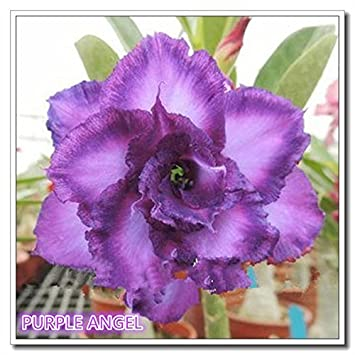 fc004489d76620 Nooelec Seeds India Rare Desert Rose Seeds Purple Angel Adenium Obesum  Color 20 Seeds  Amazon.in  Garden   Outdoors