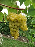 buy Organic Aromella Grape 10 Seeds UPC 648620997678 + 1 Plant Marker Floral Wine Grape now, new 2018-2017 bestseller, review and Photo, best price $5.90