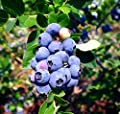 "Blueberry Plants ""Emerald"" Southern Highbush Includes (4) Four Plants"