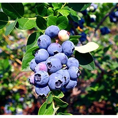 "Blueberry Plants""Emerald"" Southern Highbush Includes (4) Four Plants : Garden & Outdoor"