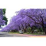 Palisanderbaum 100 Samen