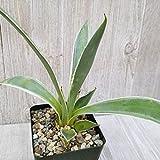 Agave Angustifolia Marginata Cactus Cacti Real Live Succulent Plant