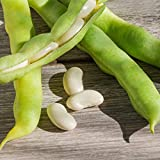 Henderson Lima Bean Seeds - 25 Lb Bulk - Non-GMO, Heirloom - Vegetable Garden Seeds - Also Called: Madagascar, Paiga Civet Beans