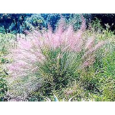 Ornamental Grass Seed - Muhlenbergia Capillaris Seeds : Garden & Outdoor