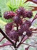 Castor bean, New Zealand Purple, Ricinus communis, Organic, 10 seeds per pack, GMO Free