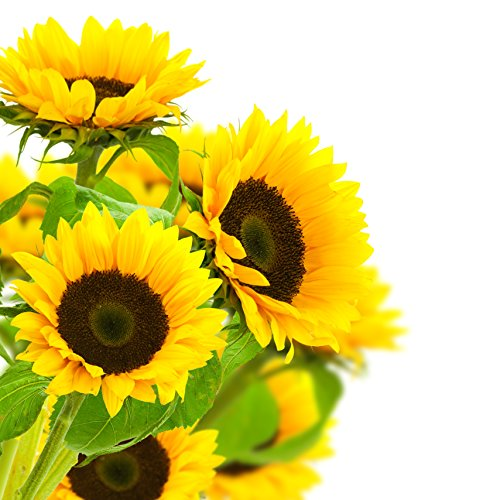 Farm-Fresh Sunflowers in Bulk: 30 Fresh Yellow Sunflowers - Farm Direct Wholesale Fresh Flowers by Blooms2Door