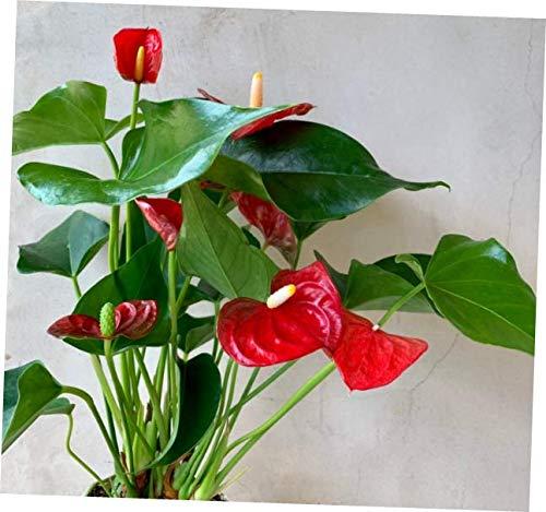NOUM 1 Live Plants Red Anthurium Plant 4'', Houseplants - RK196