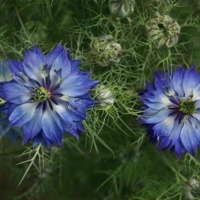 Love in a Mist Indigo Flower Seeds (Nigella Damascena) 50+Seeds : Garden & Outdoor