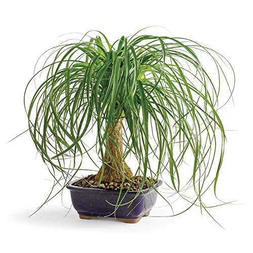 (Ponytail Palm, 10