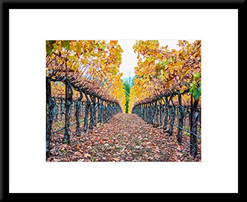 "Zcenery Fall Color Napa Valley Vineyard - Large Framed Art Print (16"" x 20"" Black Frame and White Mat)"