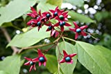 Harlequin Glorybower, Clerodendron trichotomum, Tree Seeds (20 Seeds)