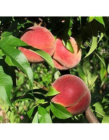 Peaches – South Carolina