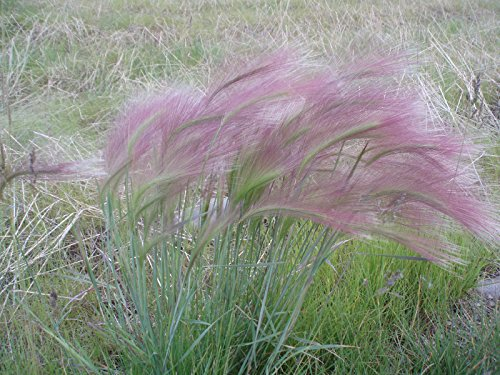 squirrel-tail-grass-pink-ornamental-60-seeds-groco