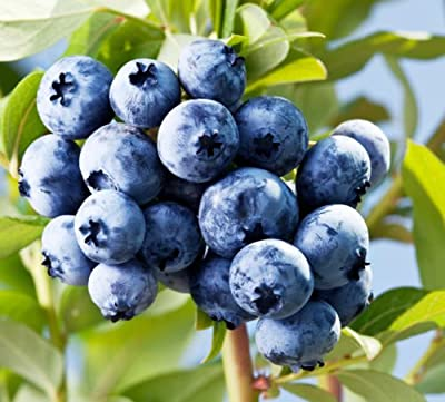 300+ *Super Sweet N Huge* Blueberry Seeds! Highbush Mix Perennial Fruit 145mg