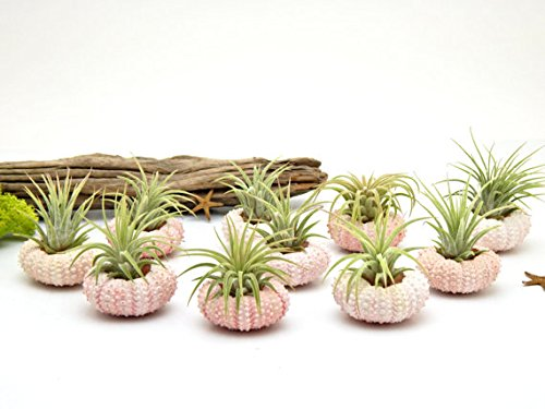 Bliss Gardens Trio Pack Air Plants with Pink Sea Urchins // Nautical // Beach // Great Gift - 20 Shells, 20 Plants (Mothera Day Gifts)