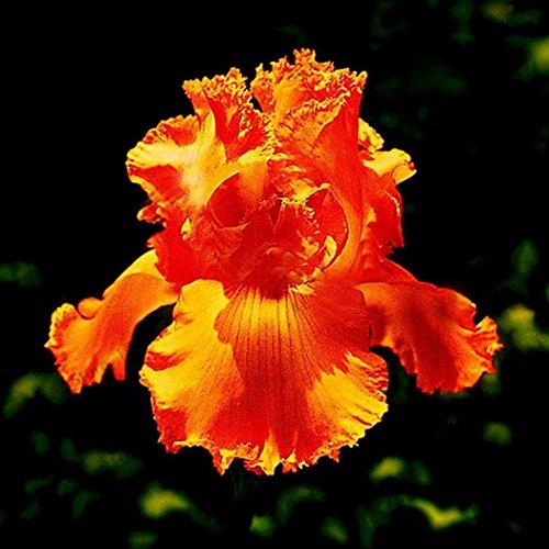 Caiuet 50Pcs Iris Seeds Iris Roots/Bulbs Garden Beauty Rebloom Dutch Iris Bulb Multiply Rapidly Beauty Rebloom Iris Bulbs Home Balcony Bonsai Perennial Garden Flower Seeds ()