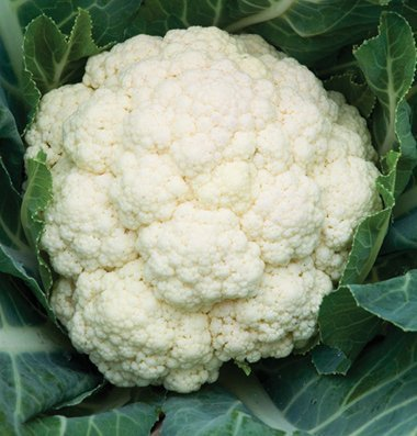 David's Garden Seeds Cauliflower Amazing D223 (White) 100 Open Pollinated Seeds