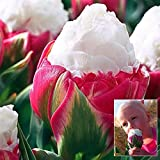 Bazaar 1pcs Double Petal Pink White Ice Cream Tulip Bulb Garden Courtyard Tulipa Gesneriana Seed offers